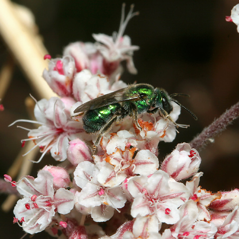 Sweat Bee (Family Halictidae) on Eastern Mojave Buckwheat (Eriogonum fasciculatum var. polifolium) flowers