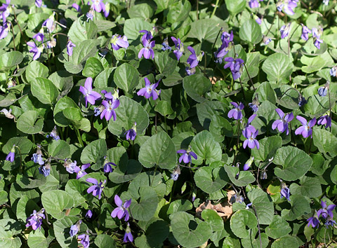 Carpet of Sweet Violets (Viola odorata)