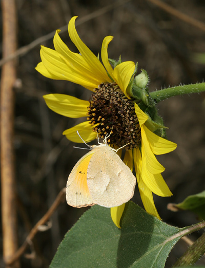 Sleepy Orange (Abaeis nicippe or Eurema nicippe) butterfly (winter form) on a Common Sunflower (Helianthus annuus) flower