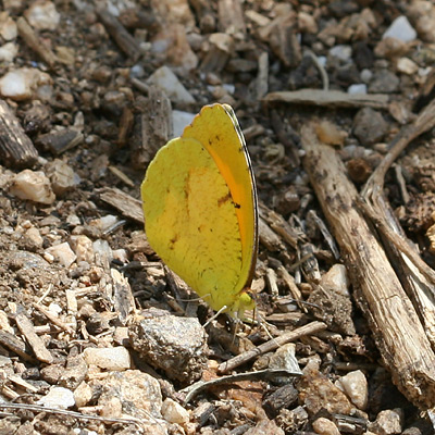 Sleepy Orange (Abaeis nicippe or Eurema nicippe) butterfly (summer form)