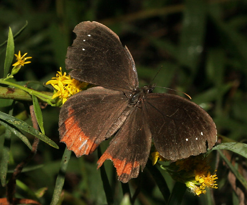 Red-bordered Satyr (Gyrocheilus patrobas) butterfly with battered wings