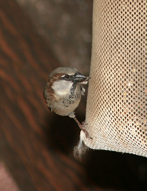 Male House Sparrow (Passer domesticus) at a mesh sock finch feeder