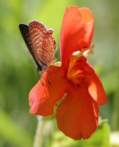 Marine Blue (Leptotes marina) butterfly on a Scarlet Monkeyflower (Mimulus cardinalis)