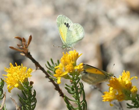 Dainty Sulphur (Nathalis iole) butterflies on a Turpentine Bush (Ericameria laricifolia)
