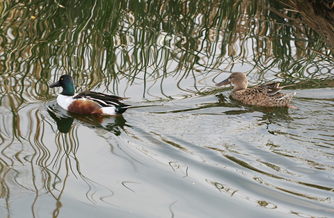 Northern Shoveler (Anas clypeata) ducks