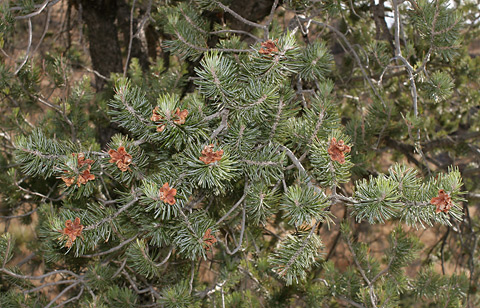 Border Pinyon (Pinus discolor) branch