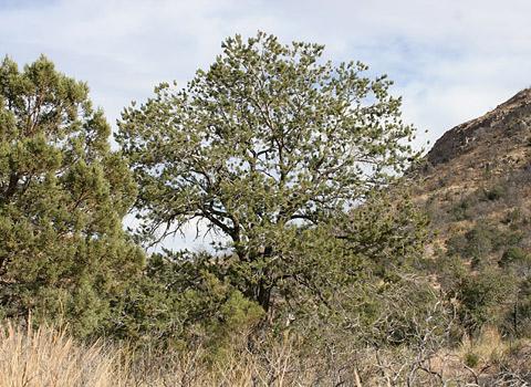 Border Pinyon (Pinus discolor)