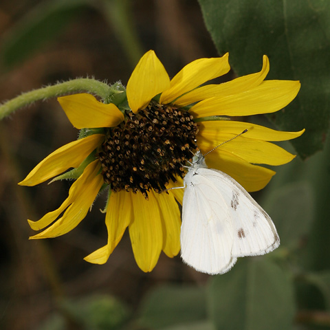 Male Checkered White (Pontia protodice) butterfly on a Common Sunflower (Helianthus annuus) flower