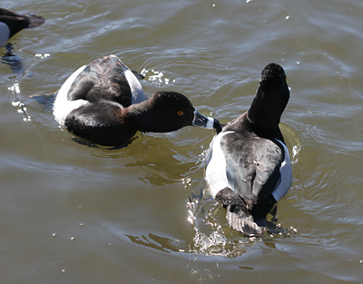 One male Ring-necked Duck (Aythya collaris) biting another