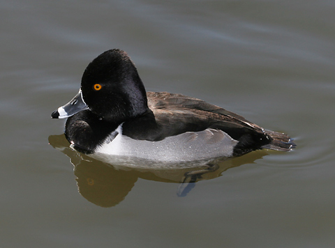 Male Ring-necked Duck (Aythya collaris)