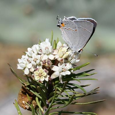 Gray Hairstreak (Strymon melinus) butterfly