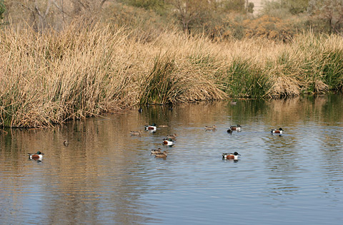 Northern Shoveler (Anas clypeata) ducks at the Sweetwater Wetlands