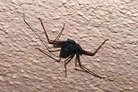 Tailless Whipscorpion (Paraphrynus mexicanus)