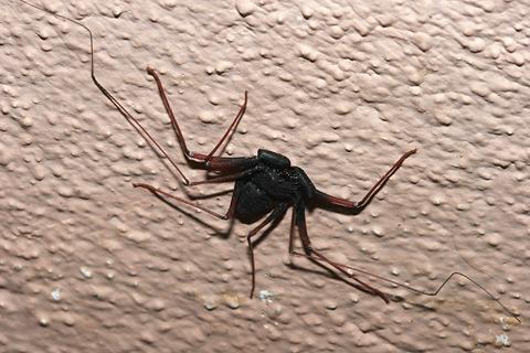 Tailless Whipscorpion (Paraphrynus mexicanus)