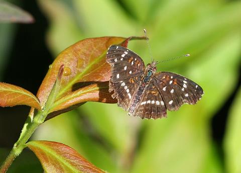 Texan Crescent (Anthanassa texana or Phyciodes texana) butterfly