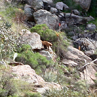 Blurry photo of a White-nosed Coati (Nasua narica) at Molino Canyon Vista Overlook