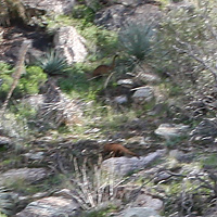 Blurry photo of White-nosed Coatis (Nasua narica) at Molino Canyon Vista Overlook