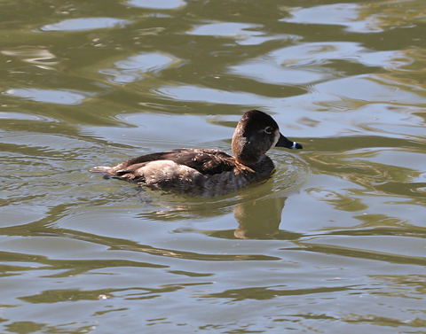 Female Ring-necked Duck (Aythya collaris)