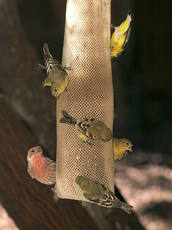 Inexpensive Finch Feeder The Firefly Forest