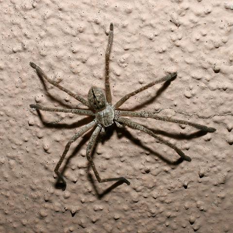 Giant Crab Spider (Olios sp.)