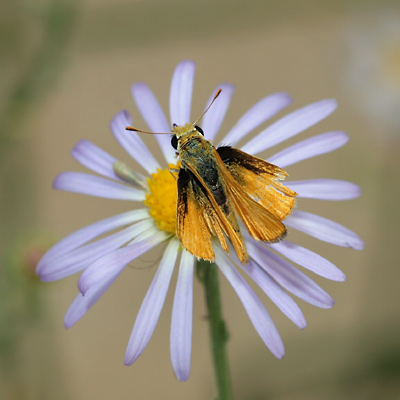 Skipper (Family Hesperiidae) butterfly with frayed wings