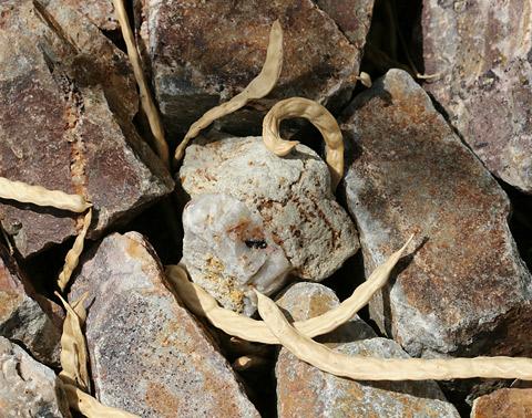 Fallen, ripe Velvet Mesquite (Prosopis velutina) beans