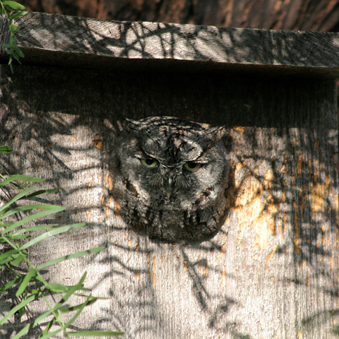 Western Screech-Owl (Megascops kennicottii) looking out of a birdhouse