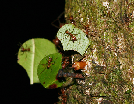 Leaf-cutter Ants (Atta cephalotes) with hitchhiking minima workers
