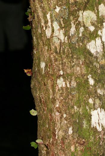 Leaf-cutter Ants (Atta cephalotes)
