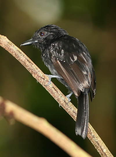 Male Black-hooded Antshrike (Thamnophilus bridgesi)