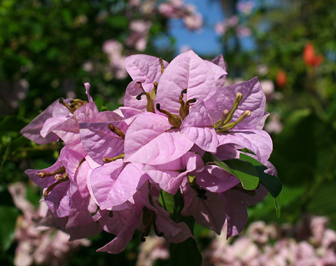 Bougainvillea (Bougainvillea species) with lilac-pink flowers