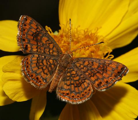 Rawson's Metalmark (Calephelis rawsoni) butterfly