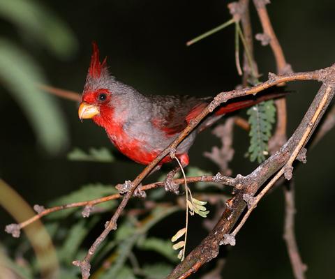 Male Pyrrhuloxia (Cardinalis sinuatus)