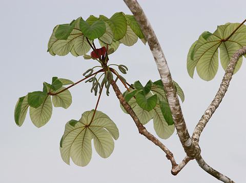 Pumpwood (Cecropia schreberiana, formerly Cecropia peltata)