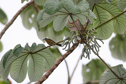 Pumpwood (Cecropia schreberiana) and a female Cherrie's Tanager (Ramphocelus costaricensis)