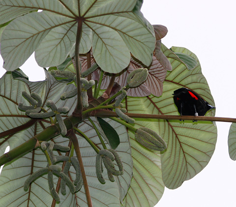 Pumpwood (Cecropia schreberiana) and a male Cherrie's Tanager (Ramphocelus costaricensis)