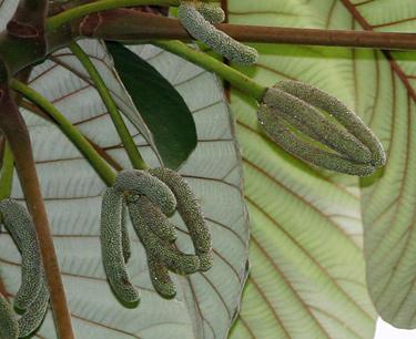 Pumpwood (Cecropia schreberiana, formerly Cecropia peltata) fruit
