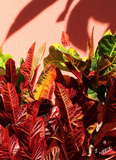 Garden Croton (Codiaeum variegatum)