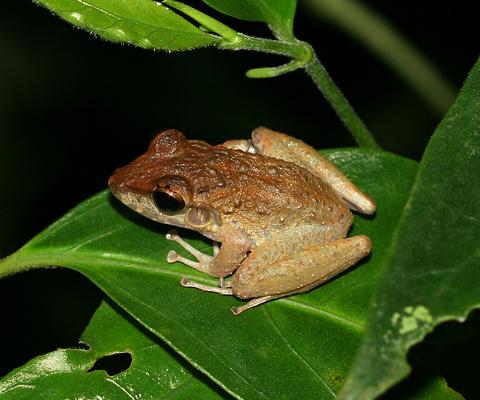 Common Rain Frog (Eleutherodactylus fitzingeri)