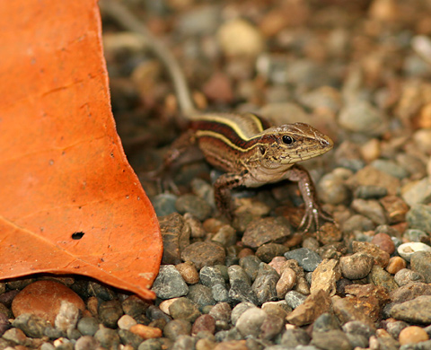 Four-striped Whiptail or Four-lined Ameiva (Ameiva quadrilineata) lizard