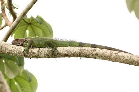 Adult Green Iguana (Iguana iguana)