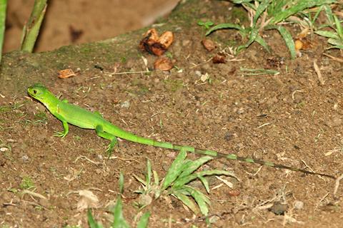 Juvenile Green Iguana (Iguana iguana)