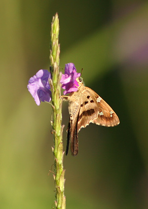 Long-tailed Skipper (Urbanus proteus) butterfly