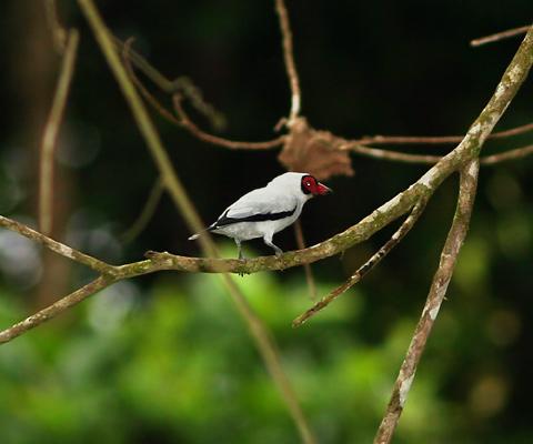 Male Masked Tityra (Tityra semifasciata)