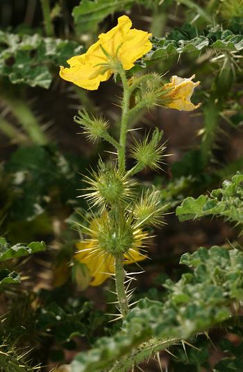 Buffalobur Nightshade or Buffalo Burr (Solanum rostratum) burrs