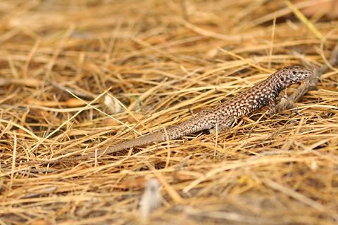Sonoran Tiger Whiptail (Aspidoscelis tigris punctilinealis) lizard