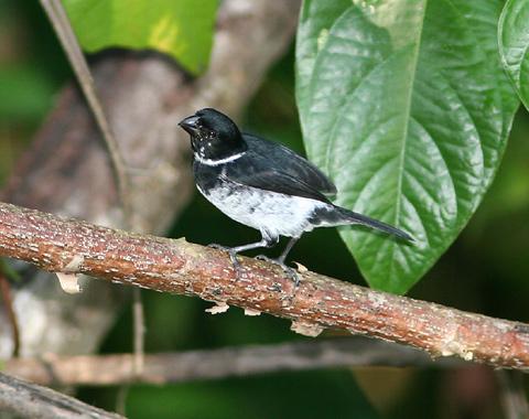 Male Variable Seedeater (Sporophila aurita) or Wing-barred Seedeater (Sporophila americana aurita)