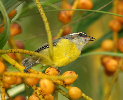 Bananaquit (Coereba flaveola) eating palm fruit