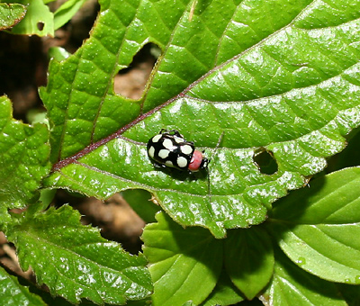 Black and pink beetle with white polka dots in Costa Rica