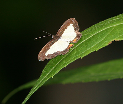 White butterfly with brown wing margins in Costa Rica